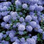 Calfornian-lilac