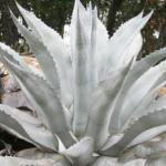Century-plant